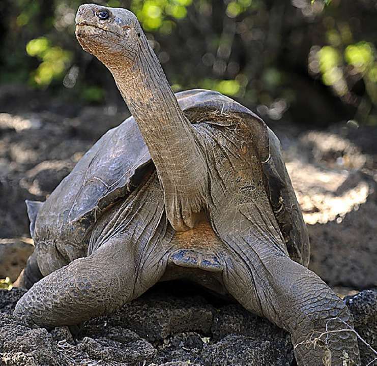 Lonesome George ist tot.   | Foto: afp