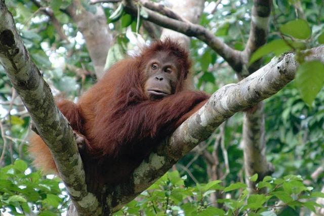 Rechte für Affen