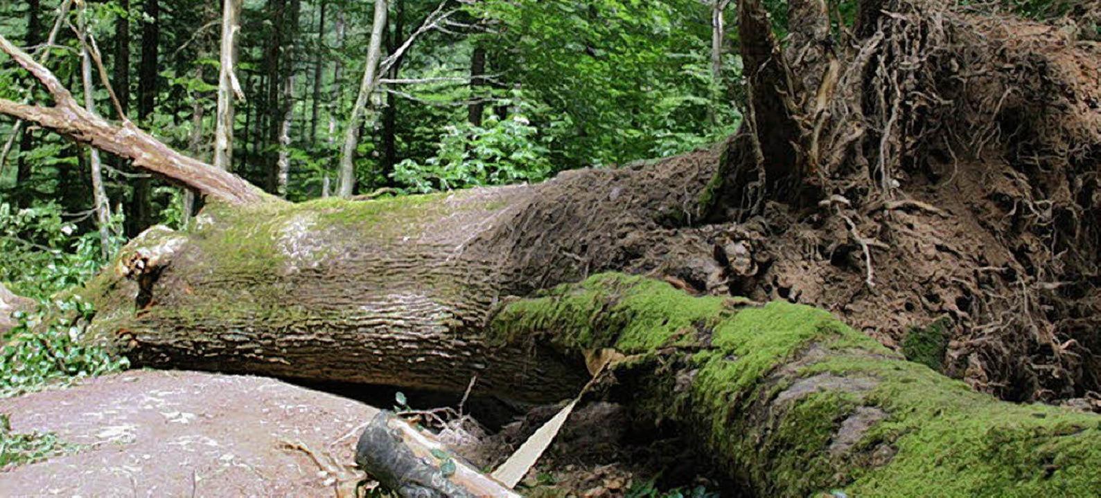 Vor einigen Tagen schon stürzte die Wo...  450 Jahre alte Wodanseiche erinnern.  | Foto: BZ