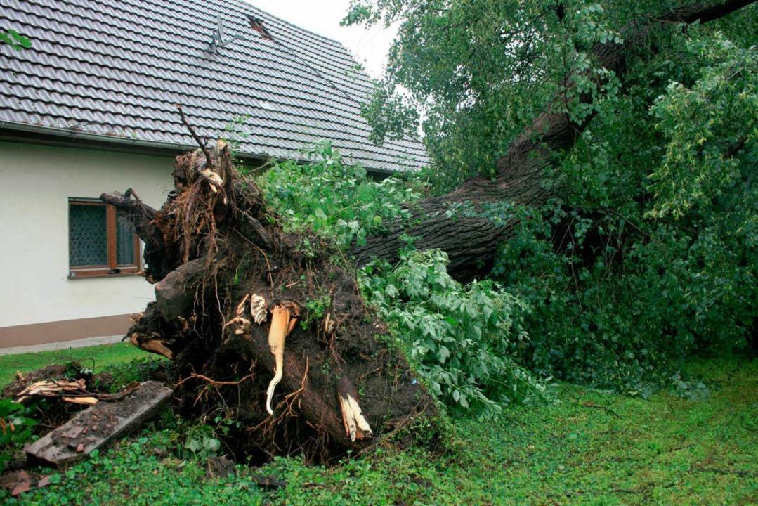 Der 140 Jahre alte Lindenbaum in Ottenheim ist umgestürzt.  | Foto: Martin Frenk