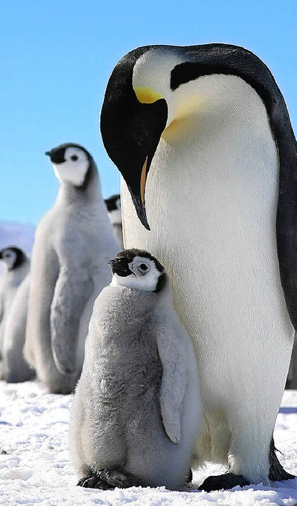 Ein Kaiserpinguin mit seinem Jungen in der Antarktis     Foto: dpa