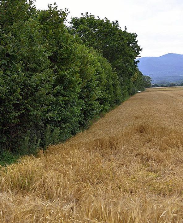 Dass Felder bis an die Hecken heranrei...Feldern Kräuter und Orchideen blühen.     Foto: Hannes Selz