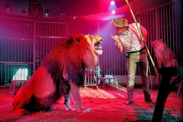Zirkus Weisheit bringt seine Löwen mit