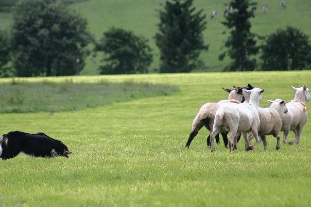Alle Schafe unter einem Hut