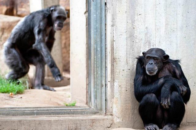 Fünf Affen in Zoo ausgebüxt - Fünfjähriges Mädchen verletzt