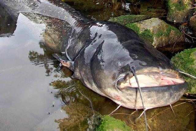 Angler fischt 2,16 Meter langen Wels aus dem Neckar