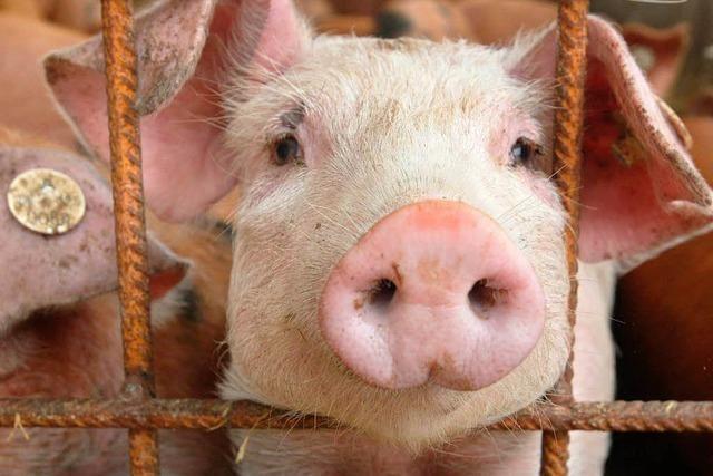 Bad Dürrheim verhindert Schweinezuchtanlage