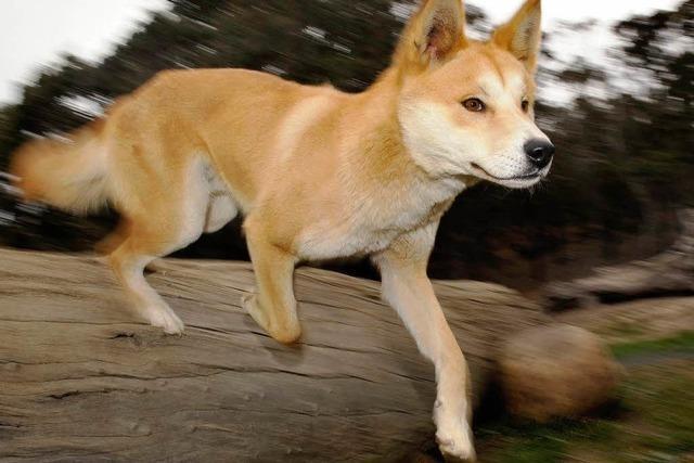 Dingo-Attacke: Deutscher Urlauber schwer verletzt