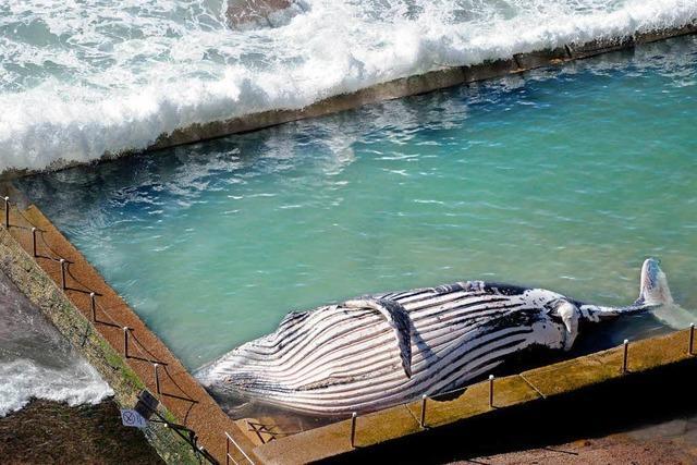 Wal wird in Meerwasserpool in Sydney geschwemmt