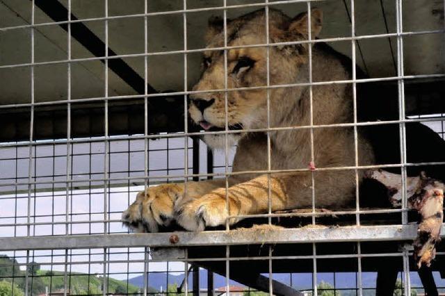 Der König der Tiere in Denzlingen