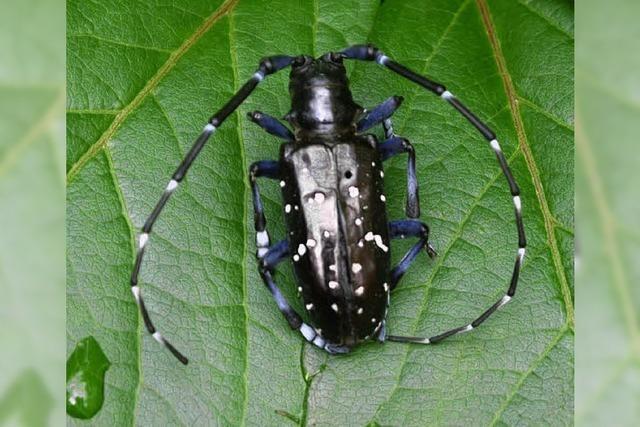 Von diesem Käfer geht Gefahr aus