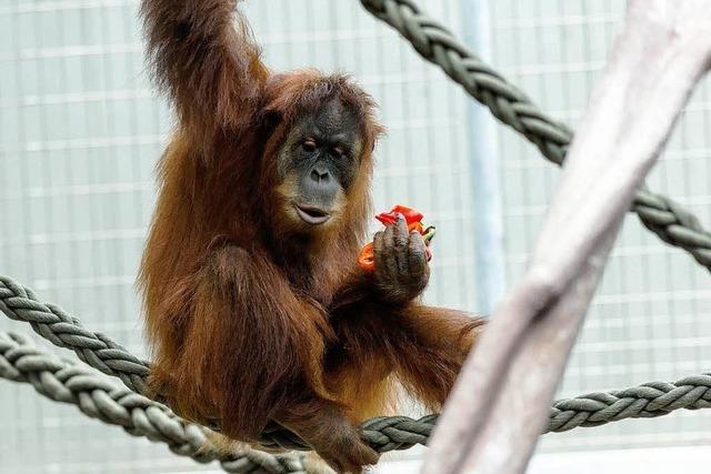 Basler Zoo hat wieder Orang Utans - erste Tiere eingetroffen