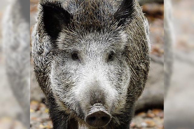 SOMMERZEIT: Schwein gehabt!