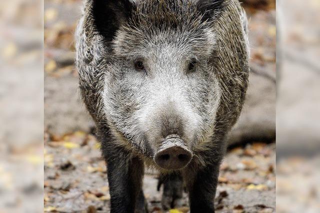 Wildschweine strahlen noch