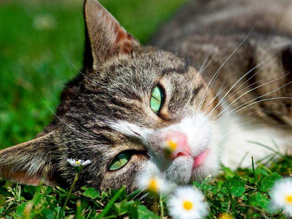 Müssen Besitzer von Katzen in Schopfhe...m Katzenquäler zum Opfer gefallen ist.  | Foto: dpa
