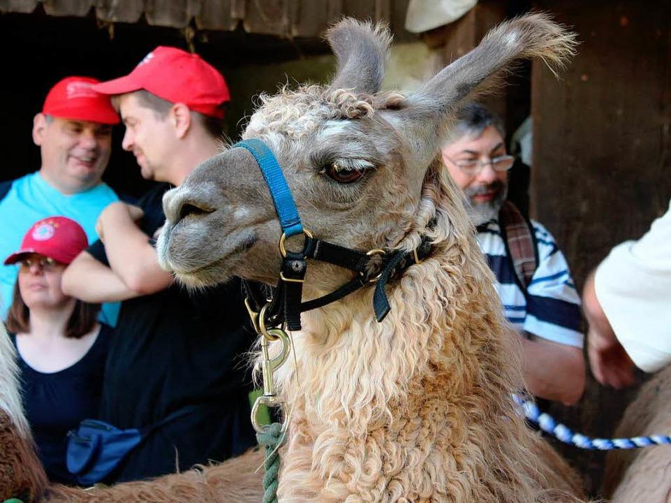 Aysha, die Lama-Königin  | Foto: Anja Bertsch