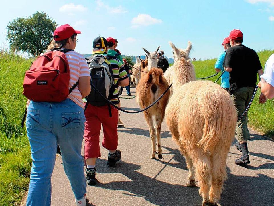 Hoch hinaus geht es mit Lama und Rucksack  | Foto: Anja Bertsch