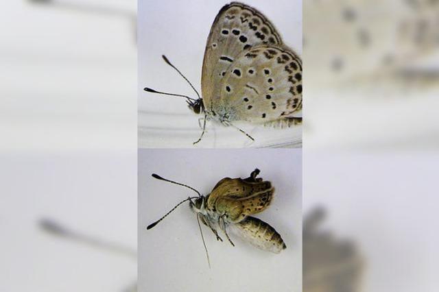 Mutierte Schmetterlinge