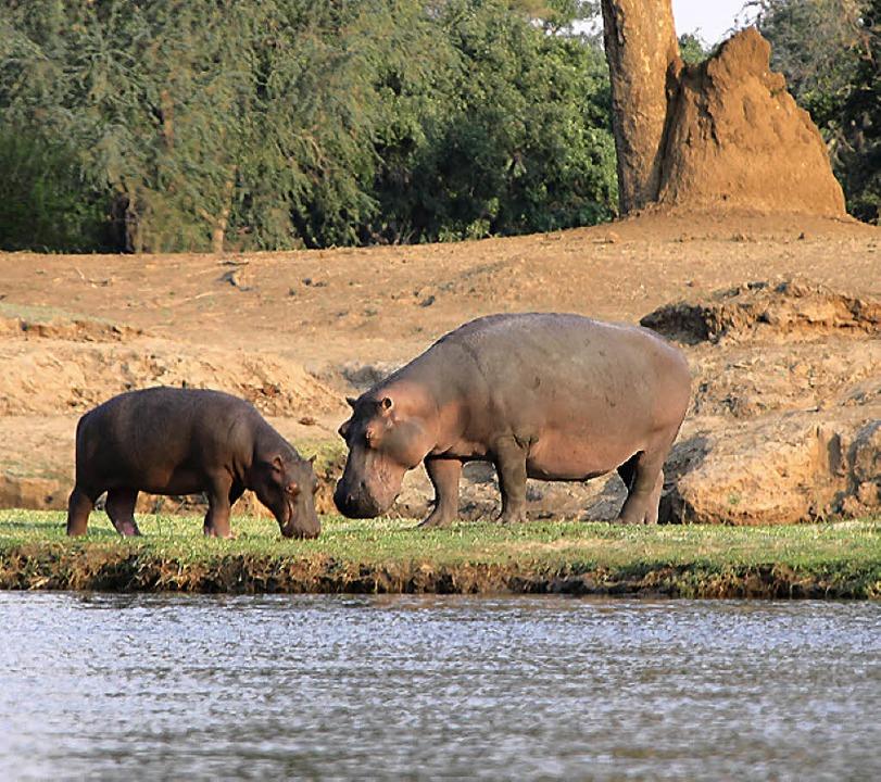 Dicht zusammenbleiben und Ruhe bewahren: Mit Flusspferden ist nicht zu spaßen.  | Foto: Winfried Schumacher