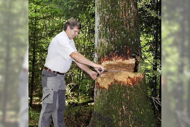 Baumfrevel an der Eiche