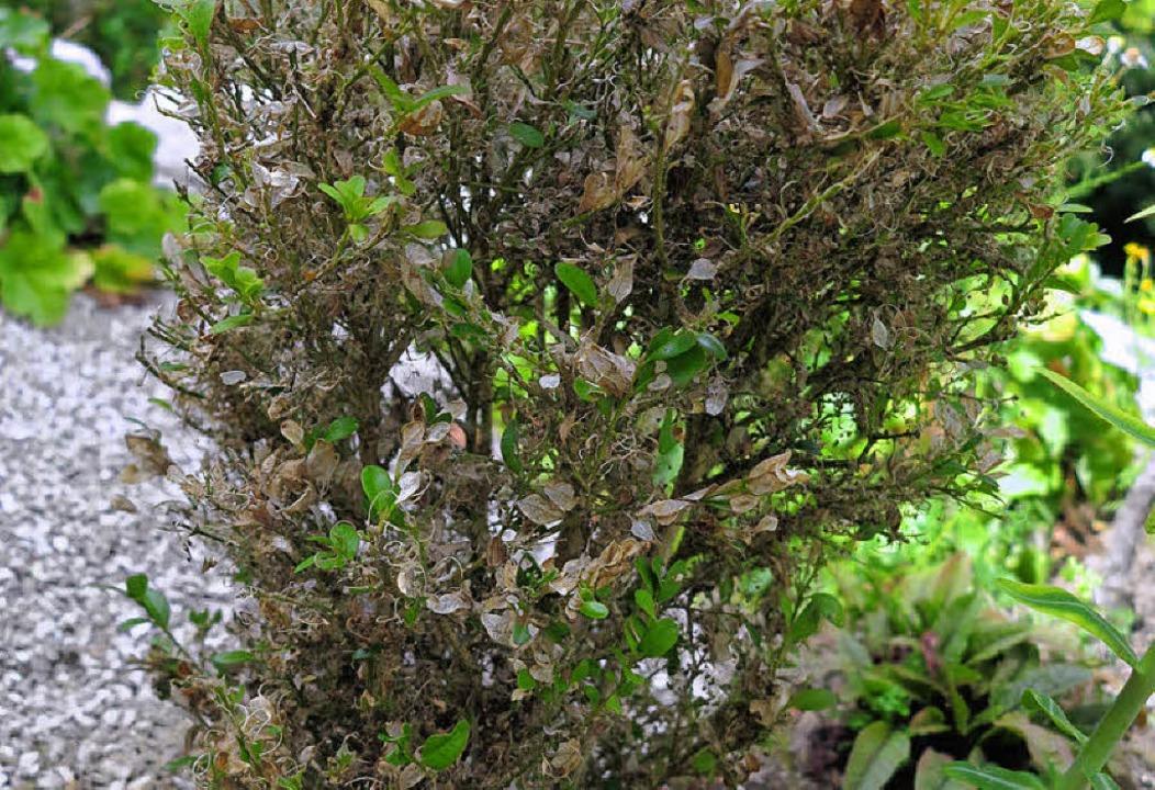 Ruckzuck verwandeln Buchsbaumzünsler die Pflanzen in ein trauriges Gestrüpp.  | Foto: Dorothee Philipp