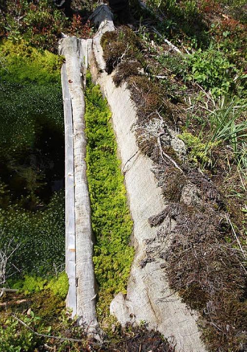 Aus Tannenholz wurden Sperren in die E...m die Feuchte im Moorgebiet zu halten.  | Foto: Silvia Faller