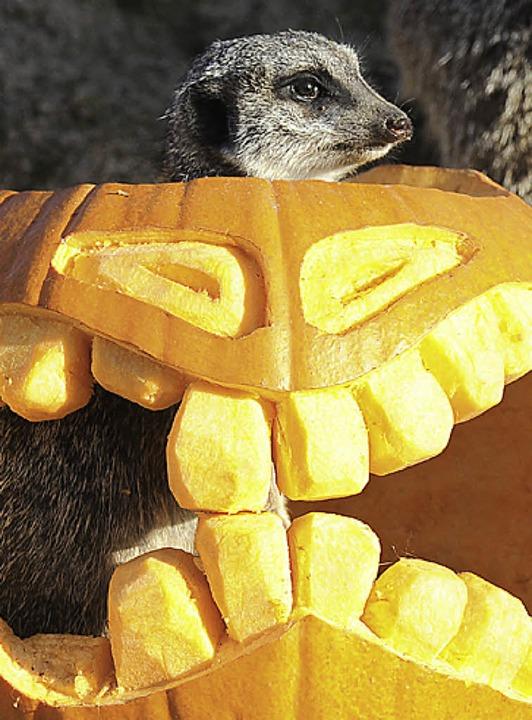 Selbst  Erdmännchen im Zoo feiern mittlerweile Halloween.  | Foto: BZ