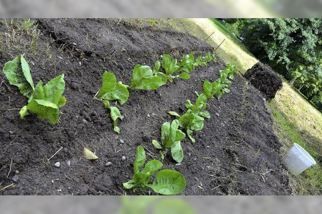 Gemüsebeet im Dietenbachpark: Da haben wir den Salat!