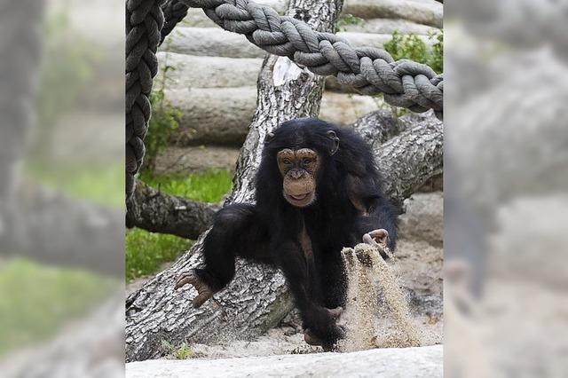 Zoo eröffnet Geigy-Anlage für Menschenaffen