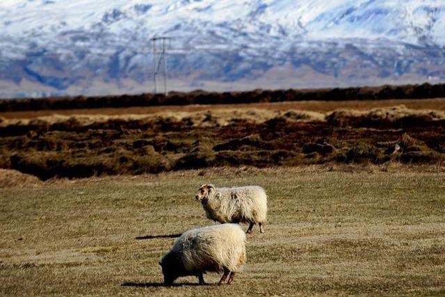 Isländische Schafe überleben vier Wochen unterm Schnee