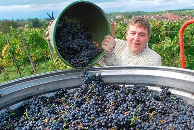 Der 2012er wird am Kaiserstuhl ein sehr guter Weinjahrgang