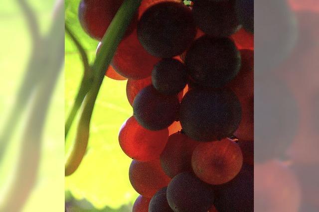 Weinbeeren von hoher Qualität