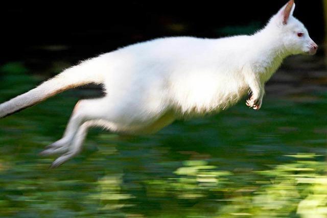 Nala ist ein weißes Känguru