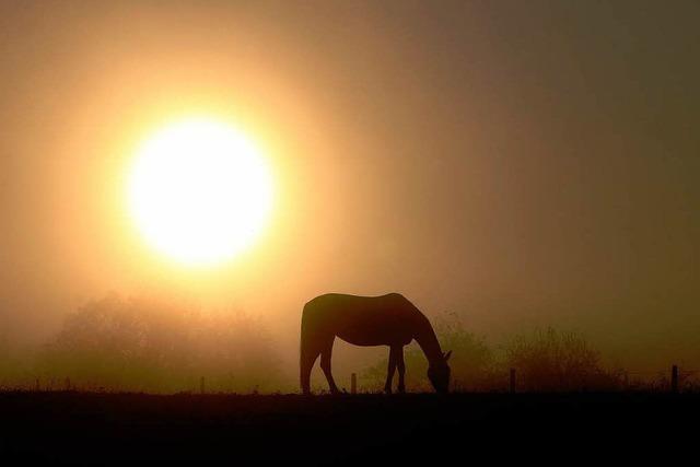 Pferdeschänder schlägt wieder zu: Pony in Staufen verletzt