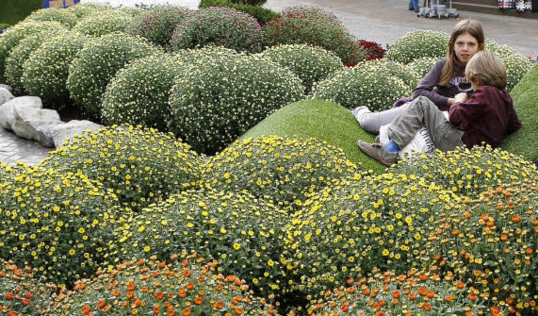 Die Vorbereitungen auf die Chrysanthem...die Blütenpracht kann sich entfalten.   | Foto: Christoph Breithaupt