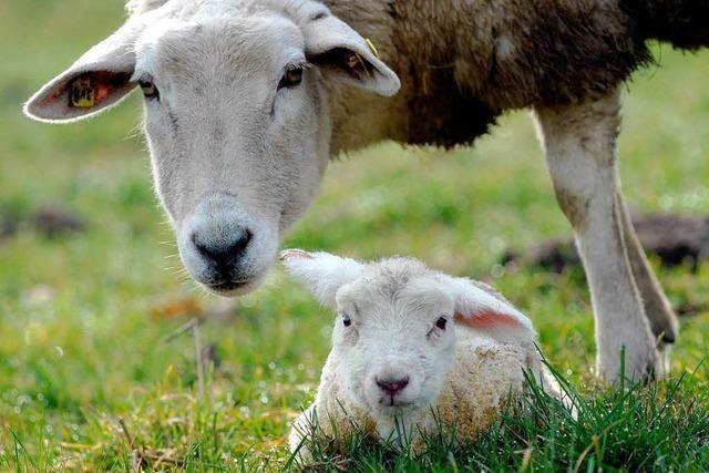 Lammfleisch ist als heimisches Produkt im Kommen