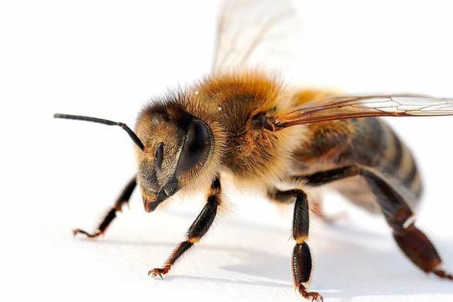 Imker beklagen schlechtestes Honigjahr seit Jahrzehnten