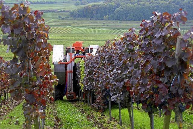Winzer am nördlichen Kaiserstuhl ziehen positive Herbstbilanz