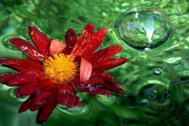 Gesucht: die schönsten Fotos von der Chrysanthema in Lahr
