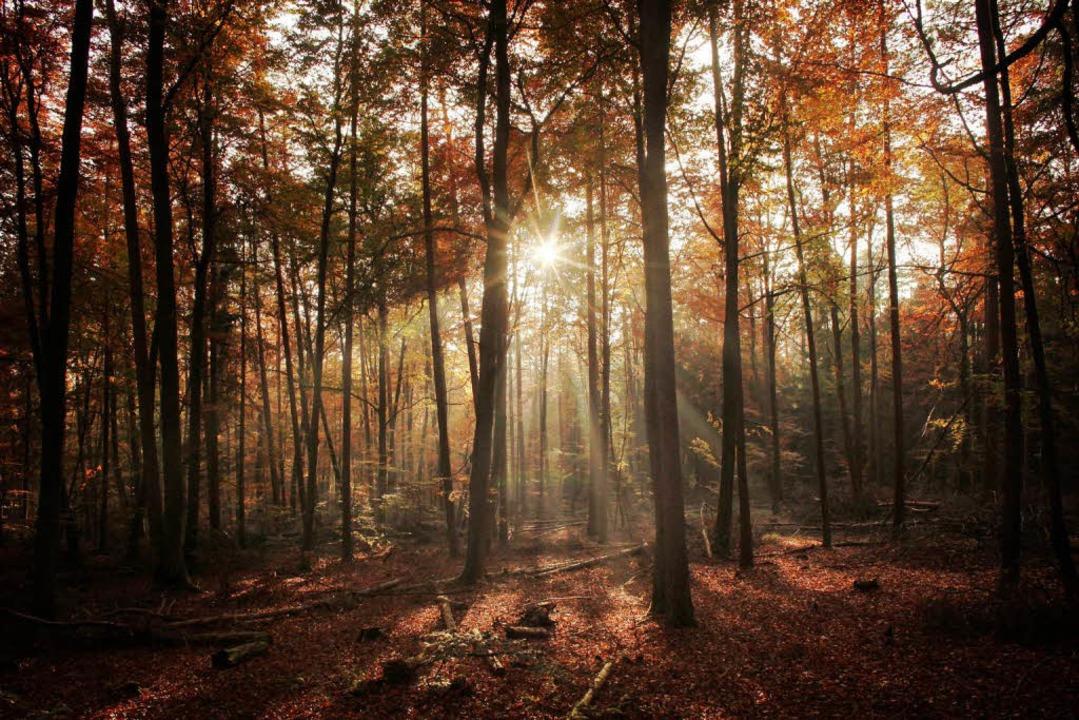 Die abendliche Sonne bringt herbstlich gefärbtes Blattwerk zum Leuchten.  | Foto: dpa