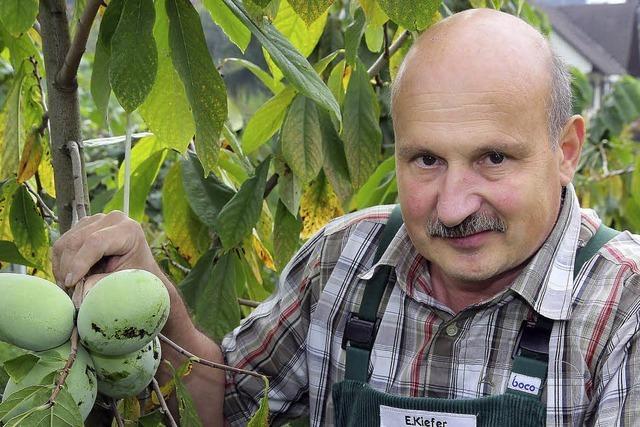 Obstbauer kultiviert exotische Indianerbanane in Ortenberg