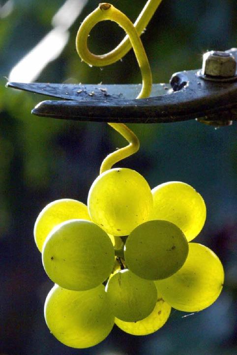 Im Breisgau reifen Trauben für filigrane Weiß- und Rotweine.  | Foto: dpa