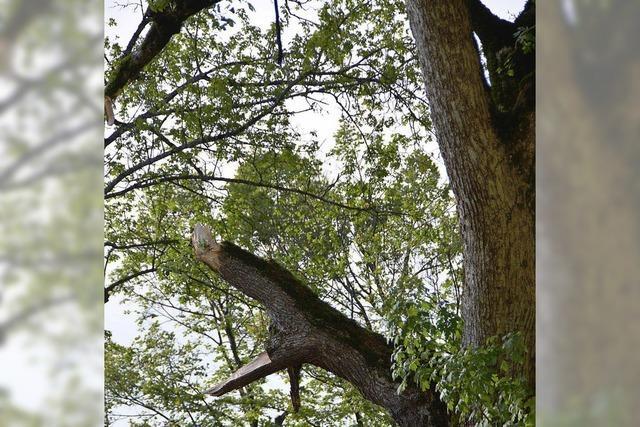 Zu schwere Last für manchen Baum