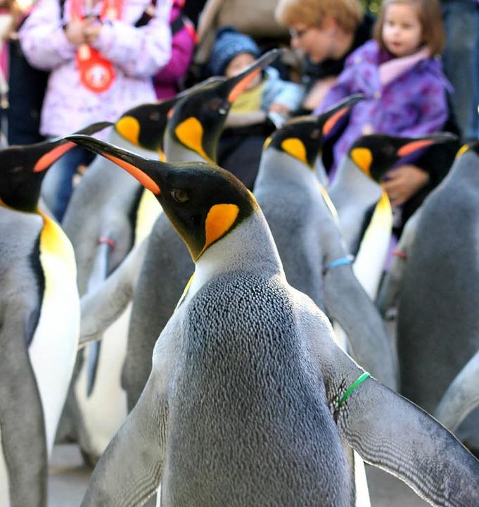 Viel Spaß hatten die Kinder beim Ausfl...men mit den Pinguinen spazieren gehen.  | Foto: Silvia Eismann