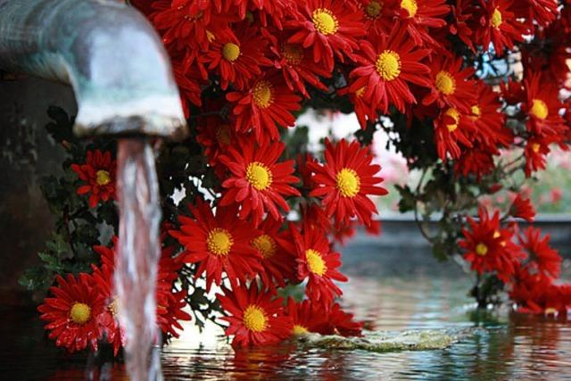 BADISCHE-ZEITUNG.DE: Chrysanthema 2012