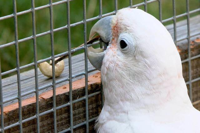 Kakadu mit handwerklichem Geschick