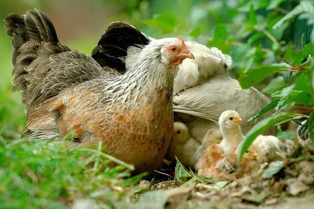 Eier von den eigenen Hühnern