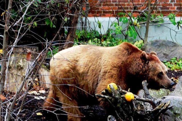 Sollen die Berliner Bären in ihrem Zwinger bleiben?