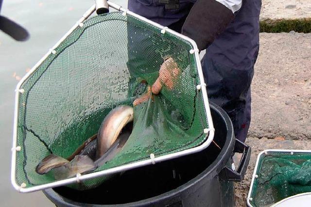 Warum gibt es im Rhein keine Aale mehr?