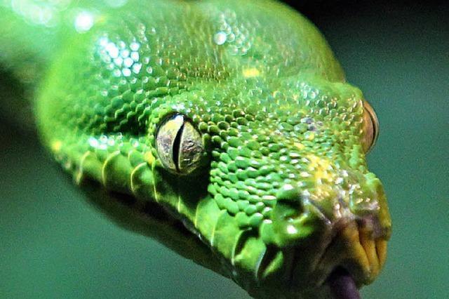 Giftige Schlangen in Australien